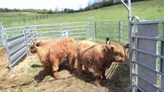 Domestication au moyen du chien de troupeau sur un petit lot de jeune bovins au sevrage