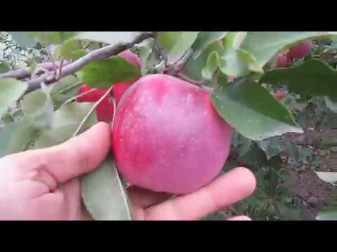 Яблоня Флорина: урожай 2018 года