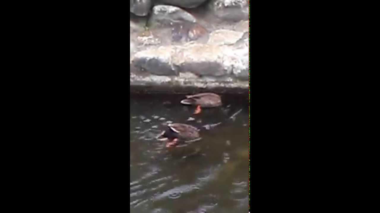 コガモのシンクロナイズドスイミング - YouTube