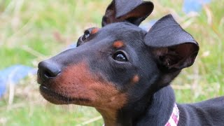 Meli - Manchester Terrier Puppy - 3 Week Residential Dog Training