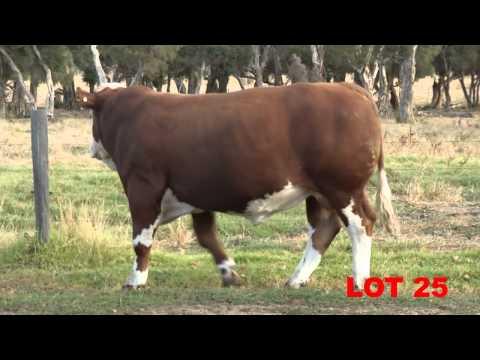 Bandeeka Bull Sale Boyanup Western Australia Lot 13 To Lot 32