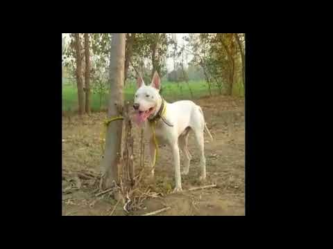 Pure White  Gultair  - Bull Terrier!