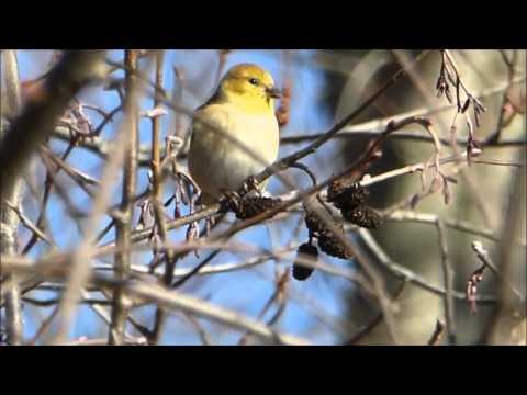 Birds From Massachusetts