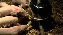 Ein Schweinchen namens Babe - Trailer