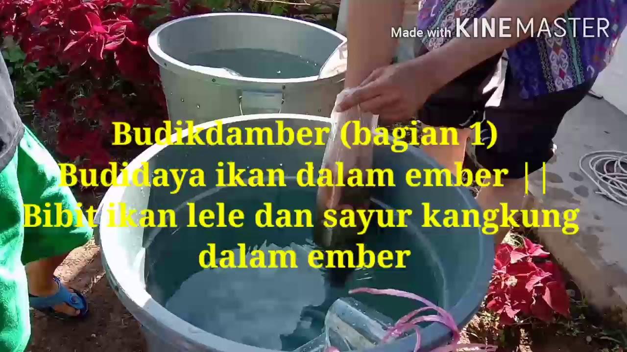 Budikdamber bag. 1 || Budidaya ikan dalam ember [ikan lele ...