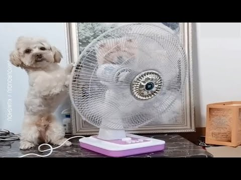 Smart Dog Gets Out Of Crate And Turns Fan Towards Himself