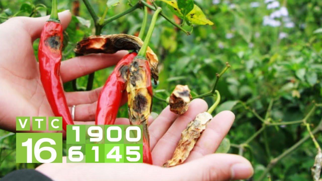 Cây ớt bị thối trái, khô trái phải khắc phục thế nào? I VTC16