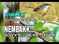 Masteran 2019 Cisem Ciblek Semi Dan Cikris Ciblek Kristal Full isian(.mp3 .mp4) Mp3 - Mp4 Download