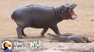 Young Hippo Can't Stop Teasing Crocodile | The Dodo Wild Hearts