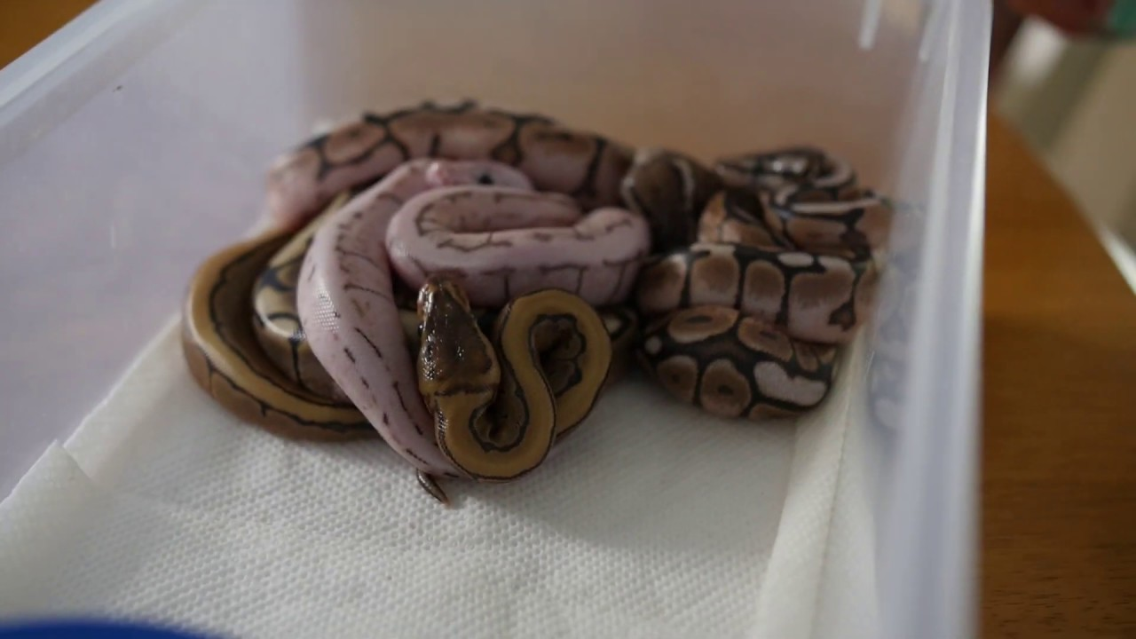 Treating Snake Eggs with Kristen Graham and SFB Exotics