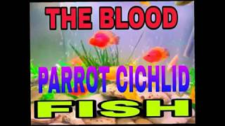 Interesting Facts about Blood Parrot Cichlid - Happy Fish Keeping