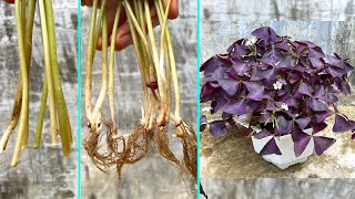 Nhân giống cây bướm đêm bằng lá | Planting Purple Oxalis