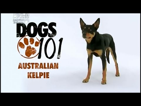 Порода собак Австралийский келпи