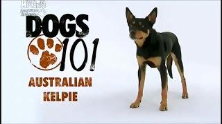 Порода собак Австралийский келпи(В этом видео рассказывается о породе собак Австралийский келпи . Прочесть статью Вы можете посетив сайт..., 2016-02-10T12:52:37.000Z)