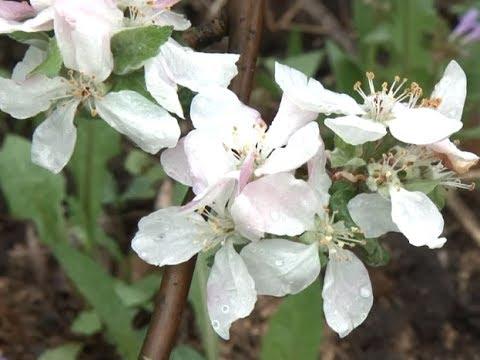 Телеэнциклопедия. Стелющиеся яблони