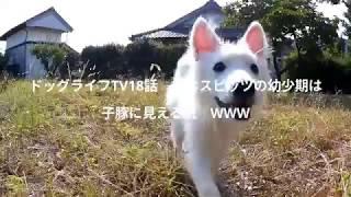 ドッグライフTV18話 日本スピッツ幼少期は子豚に似てる説? チャンネル...