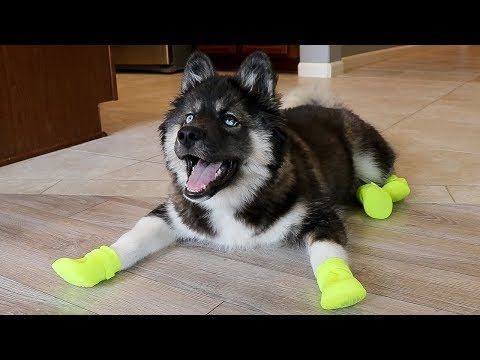 download Funny Huskies Try Shoes For The First Time!