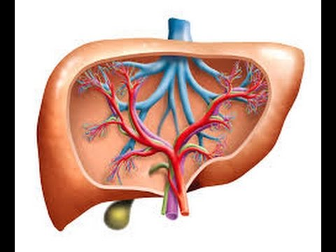 Hepatic Physiology   Functions of the Liver - NursingSuccess Point