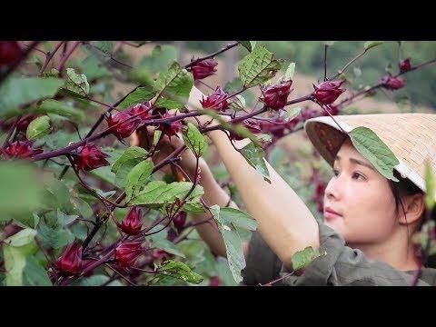 """洛神花,一种酸甜好吃的""""植物红宝石""""【滇西小哥】"""