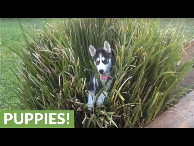 Husky puppy loves hiding in backyard plants
