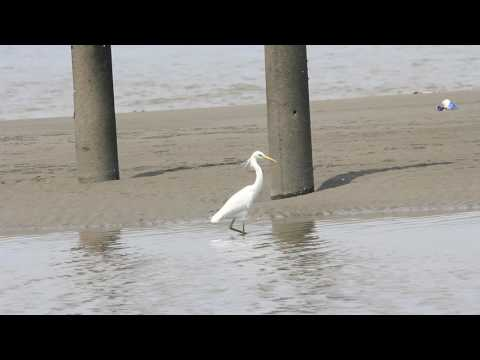 The Chinese egret fishing, 唐白鷺捕魚