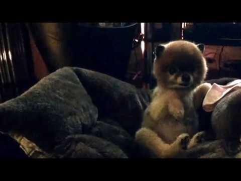 Very Cute Dog Falls Into Bed _ Cilla The Pom