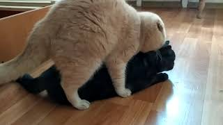 Вязка Шотландской кошки#вязка#коты#scottishcat#cats#chocolate#
