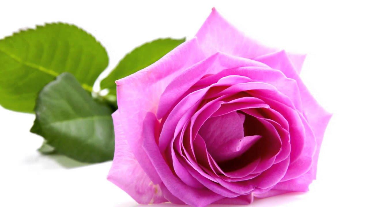 Скачать картинка роза бесплатно