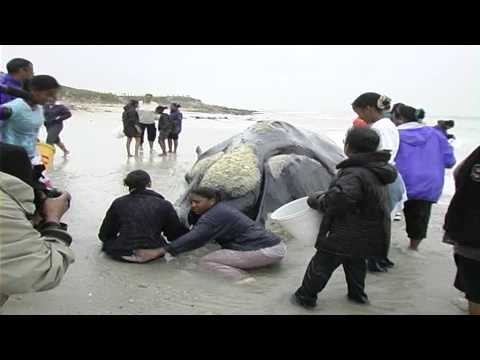 Exploding Southern Right Whale on beach near Cape Town - 14 Sept 2005