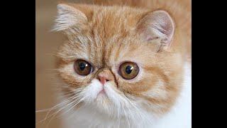 Exotic Shorthair Kitten # 1
