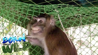 Born to be Wild: Rescuing 'Smiley', a macaque in distress