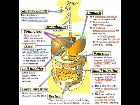 GS - digestive system multiple choice questions set - YouTube
