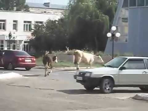 cows on the street - пробки в марксе