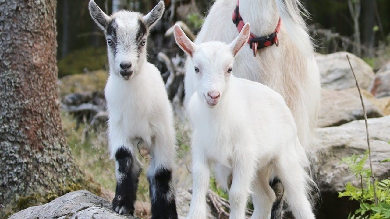 Cute Baby Goats Baby Goat Making The Cutest Funny Pet Videos Youtube