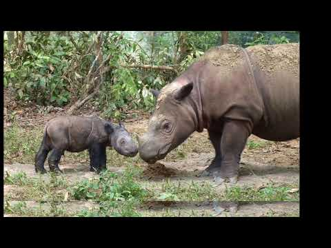 Wild animal - Rhinoceros Video