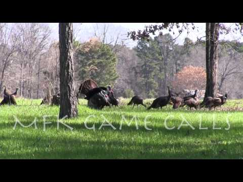 Real Wild Turkey Sounds
