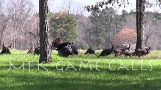 Video Real Wild Turkey Sounds download MP3, 3GP, MP4, WEBM, AVI, FLV Oktober 2018