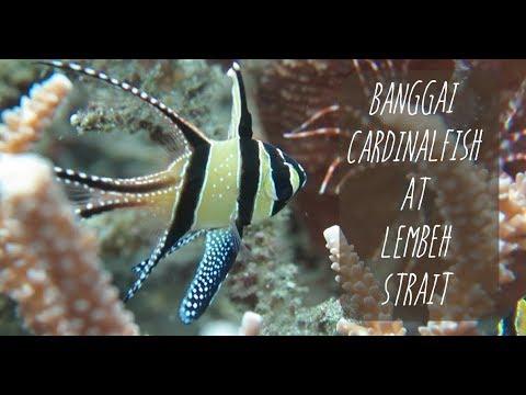 OCEAN ID : CARDINAL FISH PTERAPOGON KAUDERNI at Lembeh Strait, North Sulawesi, Indonesia