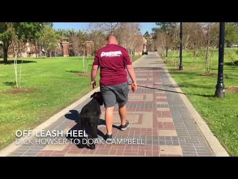 "7 Month Old Giant Schnauzer ""Otto"" | Tallahassee Dog Trainers | Schnauzer Dog Trainer"