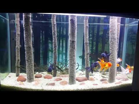 The World's Most Beautiful Home Aquarium For Oranda Goldfish & Black Moor Fish