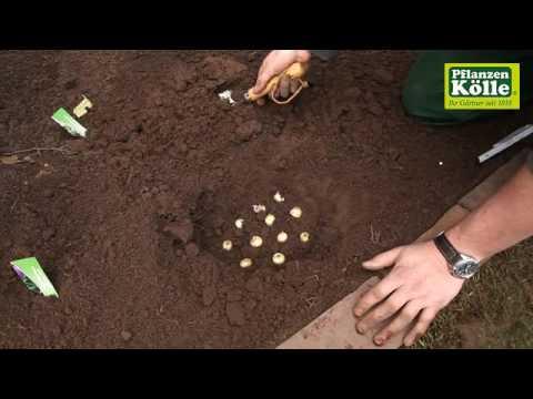 traubenhyazinthen-blumenzwiebeln-einpflanzen- -pflanzen-kölle