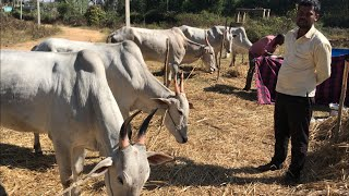 Shivagangae Cattle fair, interview with farmer Manjunatha
