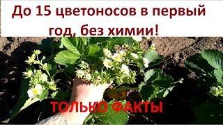 Выращивание клубники. Хороший урожай клубники в первый год плодоношения. Уход за клубникой в Сибири.