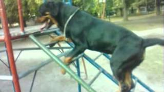 Trained Rottweiler, Really Awesome! (subtitles Included)