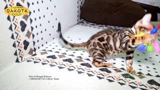 Dakota Gold Бенгальский котенок играет с палкой с перьями на диване