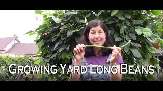 Growing Yard Long Beans or Asparagus Beans - Something Different for Your Garden!