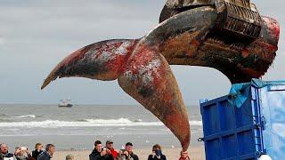 Wal in Belgien gestrandet