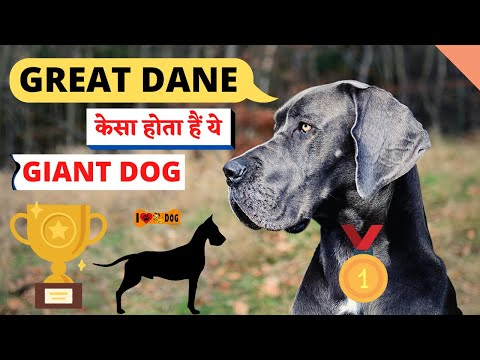 Know About Great Dane Dog Breed - Great Dane Dog Facts In Hindi - I Love Dogs