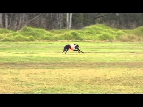 Greyhound Lure Coursing
