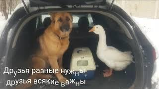 Киноэнималс . Ручной гусь и собака. КИНОпсы. КИНОптицы.